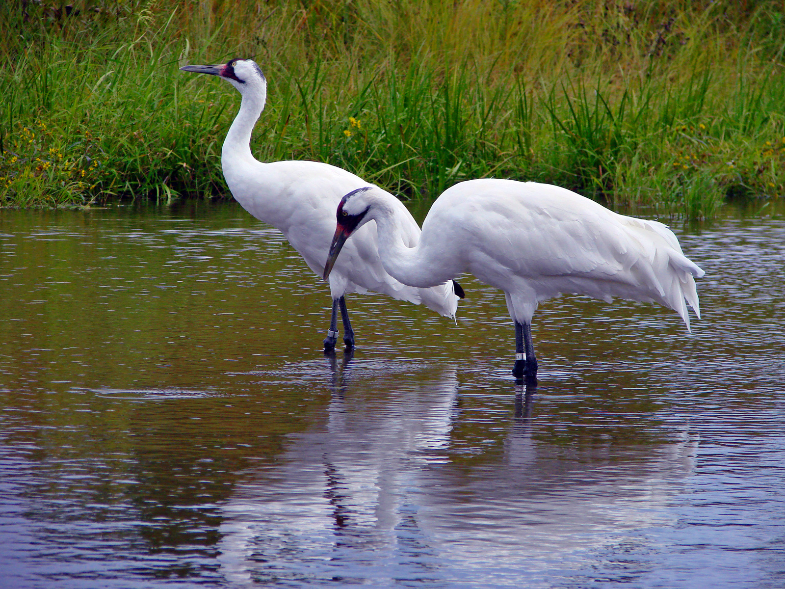 Laura 39 s birding blog whooping crane festival for The crain