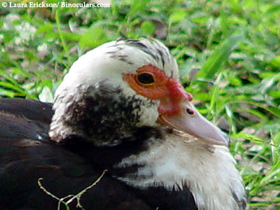 Laura's Muscovy Duck photos