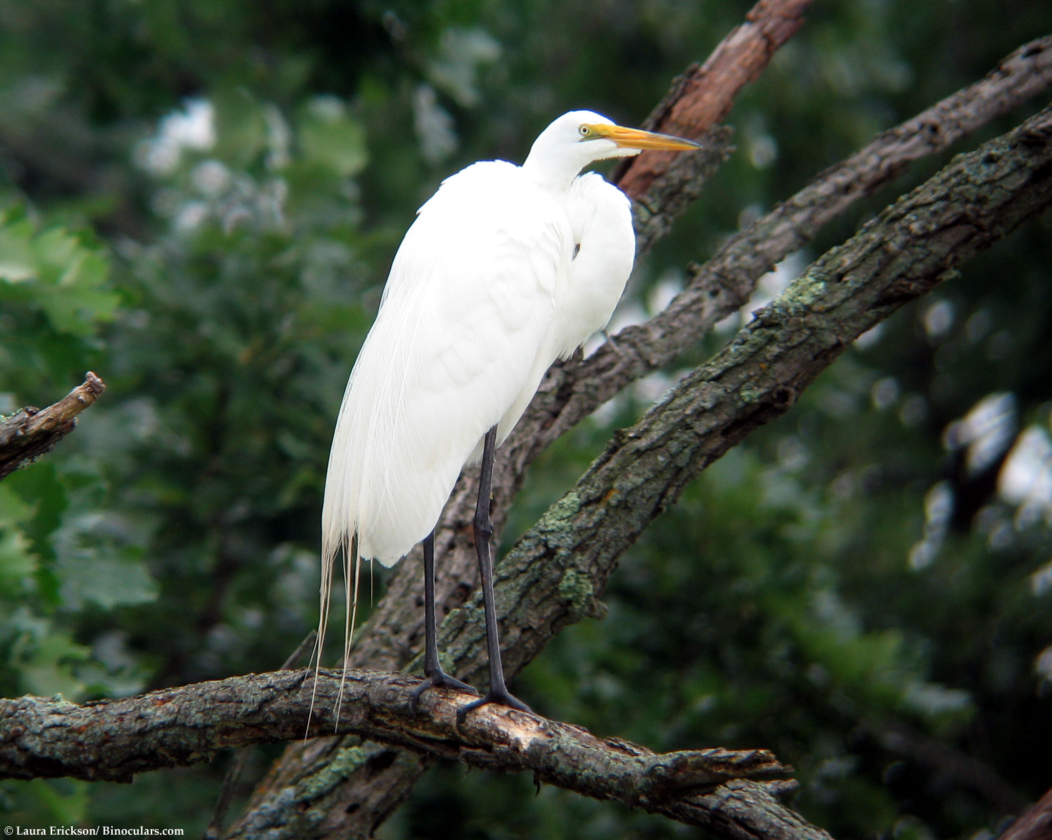 Laura's Great Egret pictures