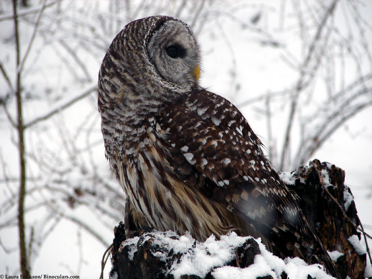 Laura's Barred Owl pho...