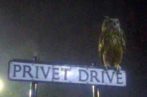 http://www.lauraerickson.com/bird/Species/Owls/HarryPotter/EagleOwlPrivetDrSignWEB.jpg