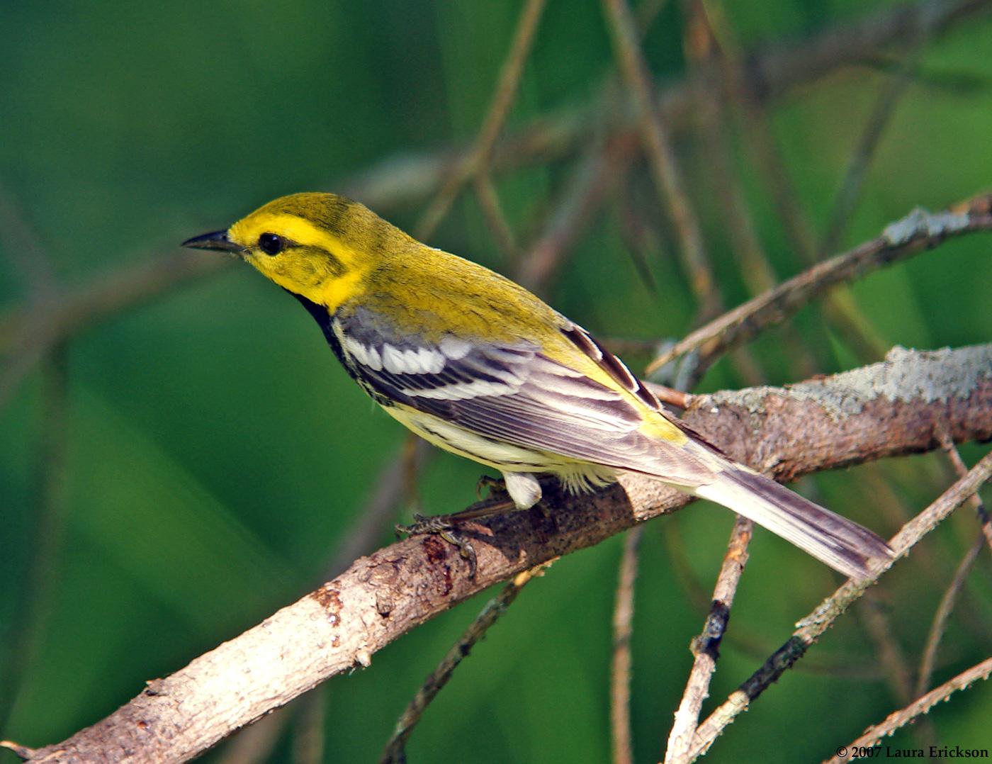 Birds - E.J. Peiker, Nature Photographer Black throated green warbler photos