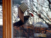 Pileated Woodpecker at Window